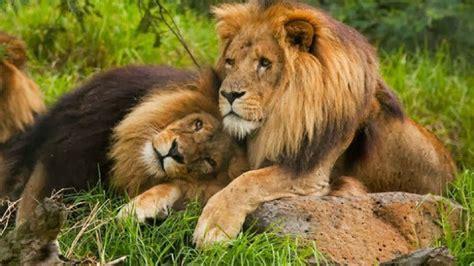 existe la homosexualidad en el reino animal mira estos leones animales