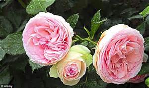 Shrub With Small Pink Flowers - the perfect rose for beginners not only are hybrid musk roses the easiest to grow they re some
