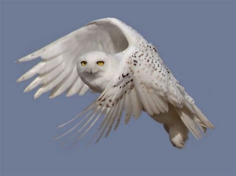 an increase of snowy owl sightings in the united states