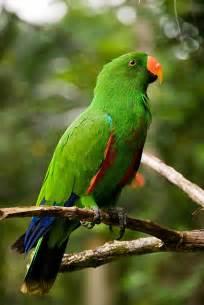 birds eclectus parrot eclectus roratus