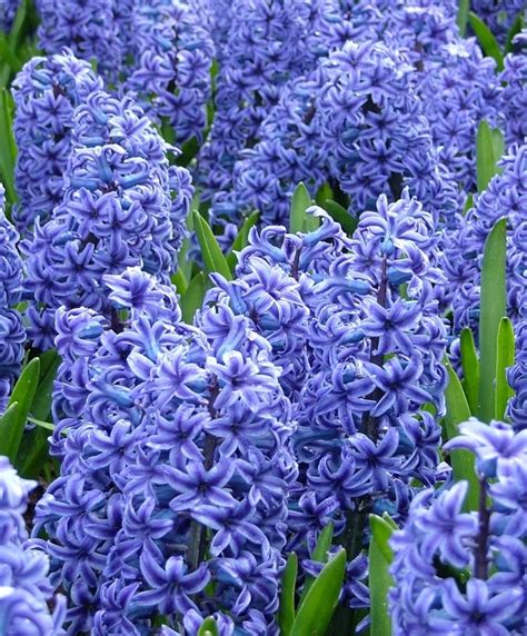 blue flower bulbs hyacinthus orientalis blue jacket hyacinths fall 2014