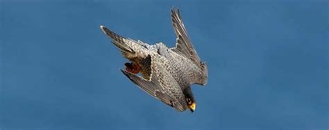 falco pellegrino alimentazione falco pellegrino falco peregrinus animali volanti