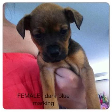 rottweiler cross shar pei for sale bull mastiff puppies for sale perth breeds picture