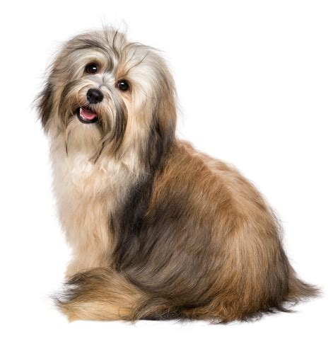 pros and cons of havanese breed 20 most feminine breeds for and