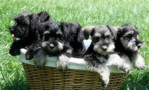 schnauzer puppies for sale in tn miniature schnauzers for sale from tlc schnauzers in tennessee adorable photography