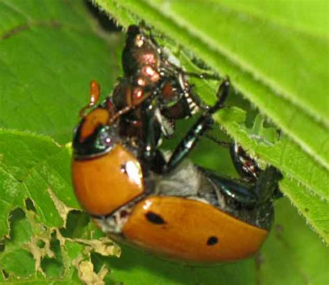asian beetles in dogs japanese beetle what s that bug