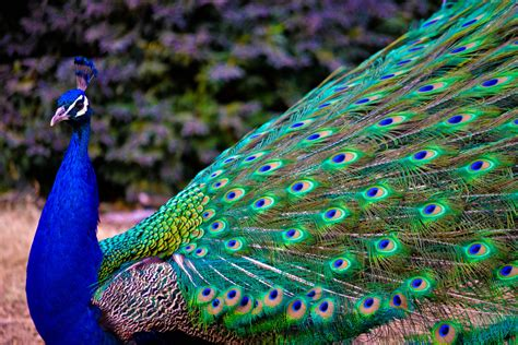 wallpaper blue peacock wallpaper peacock feathers animals 4747