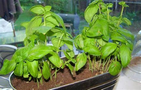 piantare il basilico in vaso oltre 1000 idee su pianta di basilico su