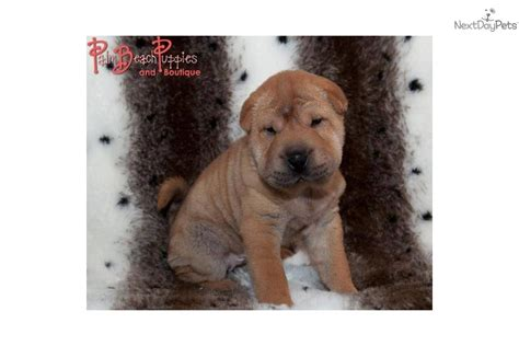 shar pei puppies babies available shar pei puppy for sale near fort lauderdale florida 6bf45972 4a71