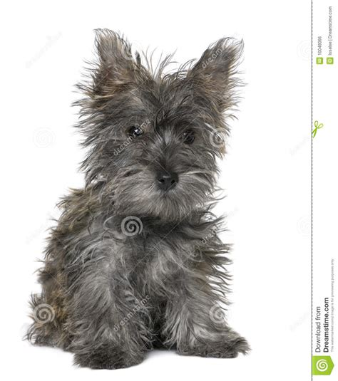 black yorkie terrier black terrier puppy sitting royalty free stock image image 10048066