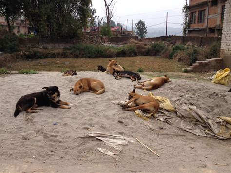 stray dogs worshipped yes but in nepal it s a tough to be a tangledjourneys