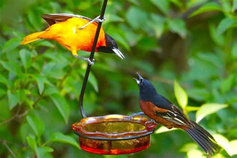 spotted in prairie village orioles galore