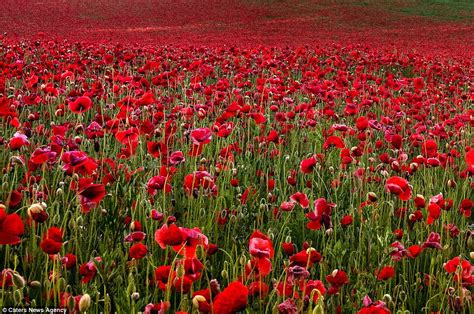 just in time for remembrance day the most beautiful poppy field photographs daily mail online