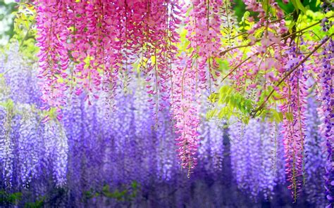 wisteria wallpaper the beauty of wisteria hd wallpaper 0862613