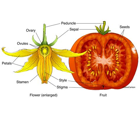 Home Flower by Tomato Flower Amp Fruit Structure Carlson Stock Art
