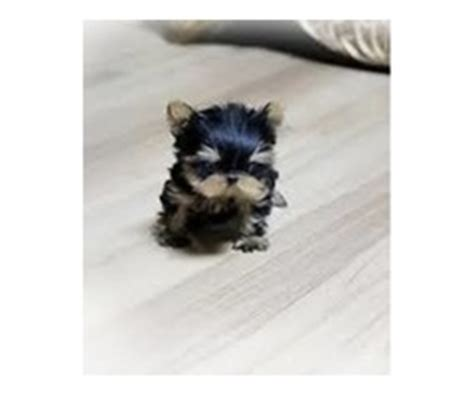 yorkie puppies pittsburgh pa cutest teacup yorkie puppy animals erie pennsylvania announcement 26396