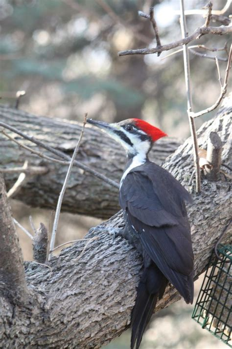 181 best images about woodpeckers on pinterest singapore