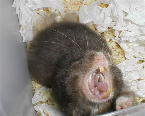 pin normal hamster teeth on pinterest