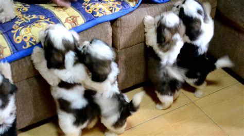 how to bathe a puppy shih tzu these shih tzu puppies after their bath you won t believe