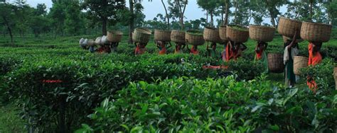 tea garden  sylhet bangladesh ambassador report