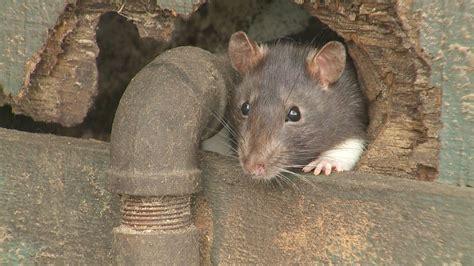 rid  rats diy tips contractor cost