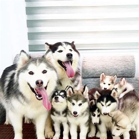 25 best ideas about husky puppies on