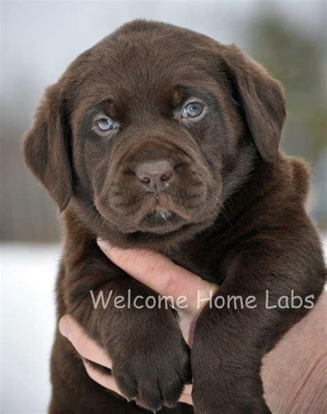 chocolate lab puppy names awwwwwww cuteness