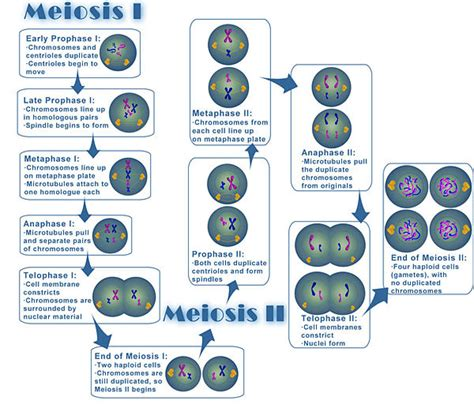 Meiosis Diagram Worksheet by Free And Printable Diagram Of Meiosis Diagram Site