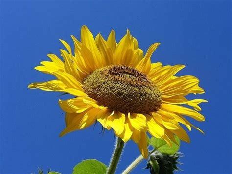 fiori gialli nome fiori gialli nomi piante perenni nomi dei fiori gialli