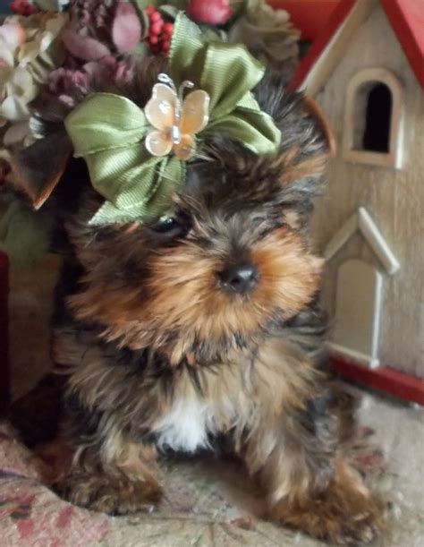 yorkie and baby yorkie baby pup yorkie photos pup yorkies and babies