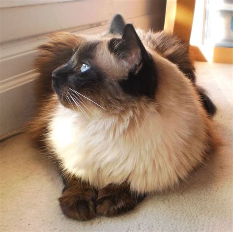 Cats With Minimal Shedding 1000 ideas about small hypoallergenic dogs on hypoallergenic breed breeds