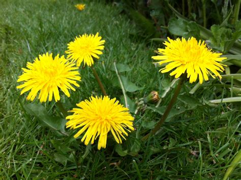 dandelion facts 100 dandelion facts nature u0027s way akn skincare