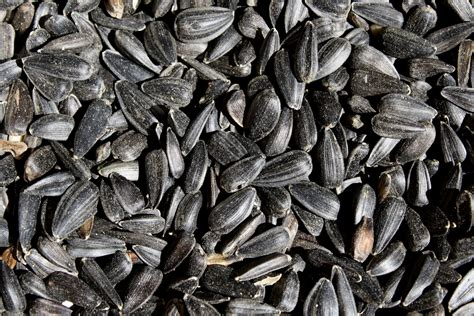 black sunflower seeds close up picture free photograph