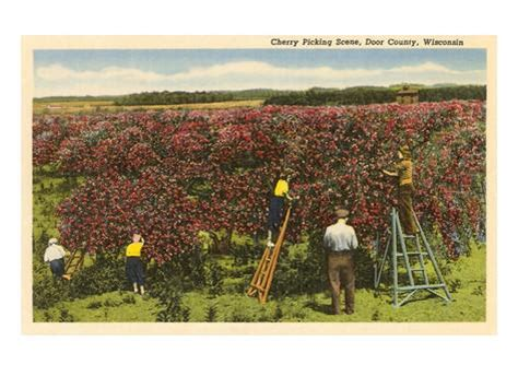 Cherry Picking In Door County by Cherry Picking Door County Wisconsin Posters