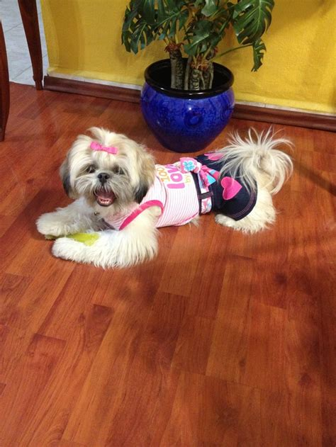 shih tzu clothes and accessories 23 best images about zu on shih tzu shih tzus and clothes