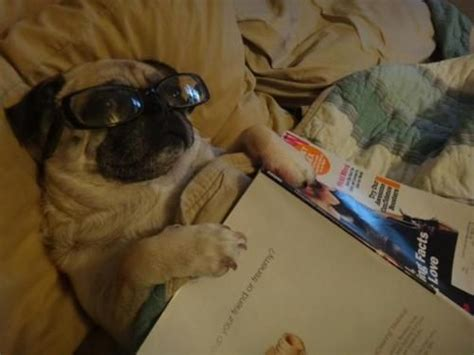 pug studying studious pug pug pug pug pug beds and silly dogs