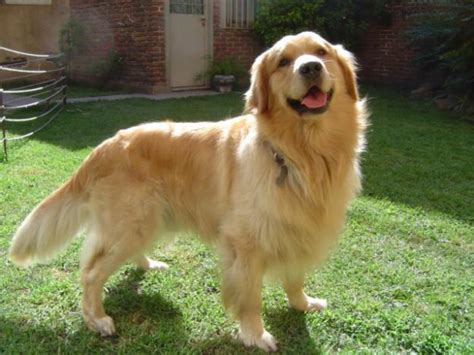 what were golden retrievers bred for about pets golden retriever