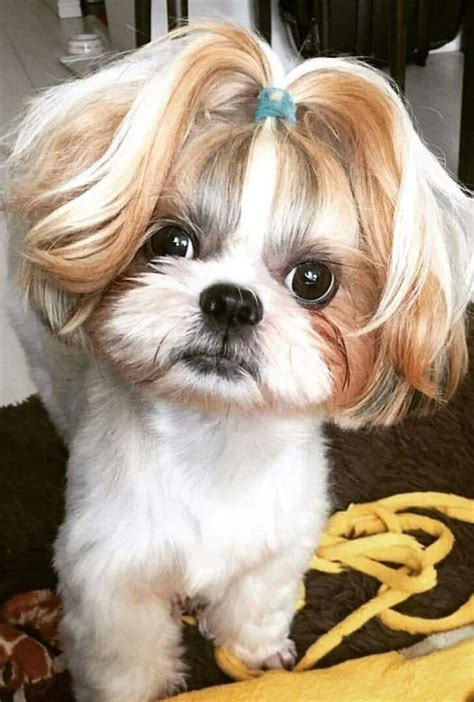 maltese and shih tzu hairstyles let s do petunia tiffany s hair like this yours mine