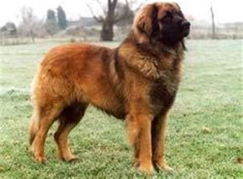 leonberger german mountain german mountain on 170 pounds mountain dogs and dogs