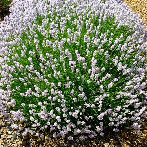 Englischer Garten Pflanzen by Englischer Lavendel Lottie Kaufen Bei
