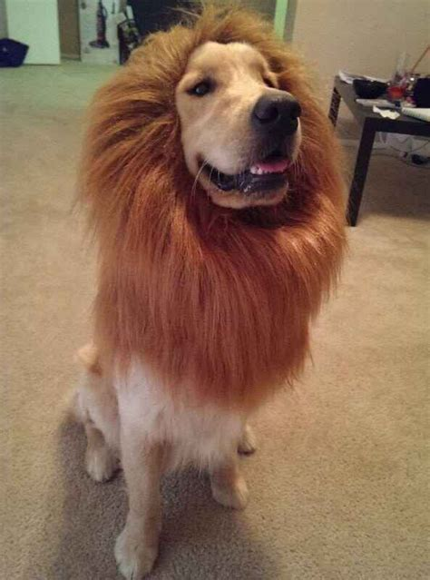 wanted golden retriever 60 times golden retrievers were so adorable you wanted to cry lions and