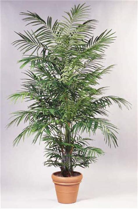 palme da vaso areca consigli coltivazione e cura