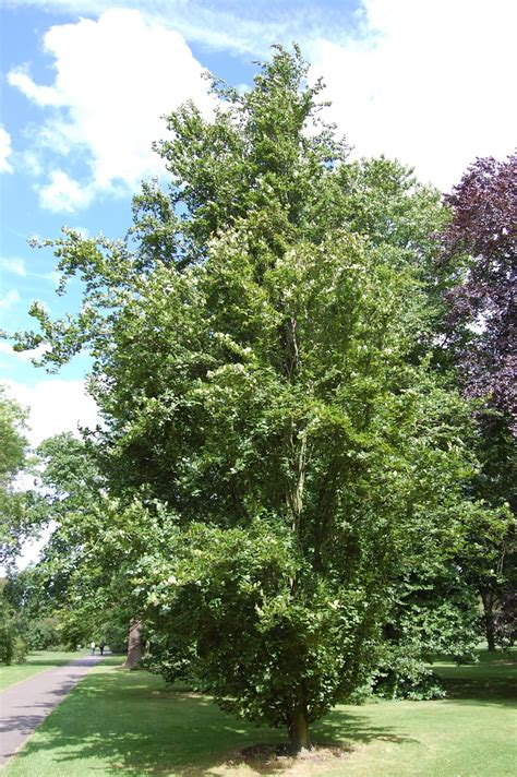 european trees trees planet fagus sylvatica european beech