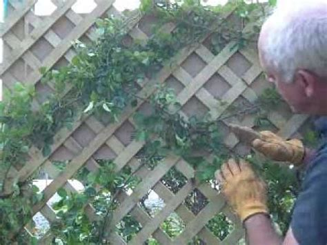 Trellis Crossword 1000 ideas about climbing roses on climbing flowers clematis trellis and cottage