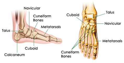 diagram of the foot bones the working foot part one chicago supply