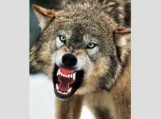 Is introducing wolves back into Britain howling mad ... Growling Black Wolf With Yellow Eyes