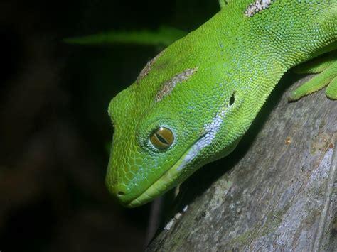 gecko green lizard wallpaper