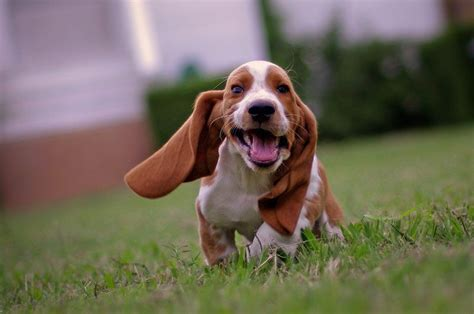 pictures of basset hound puppies hound 74 another puppy being adorable basset hounds running