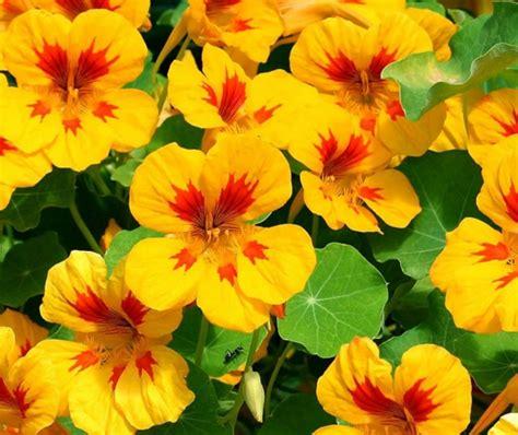 Tanaman Hias Bunga Marigold Berkualitas tanaman hias serta bunga pengusir nyamuk bibitbunga