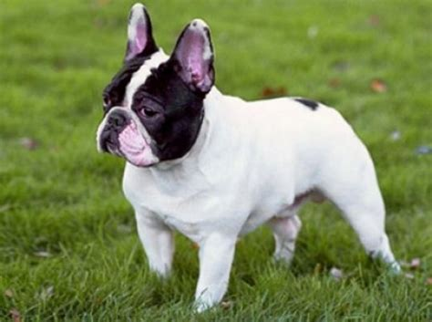 bulldog puppies cost bulldog for sale why do they cost so much gt puppy toob